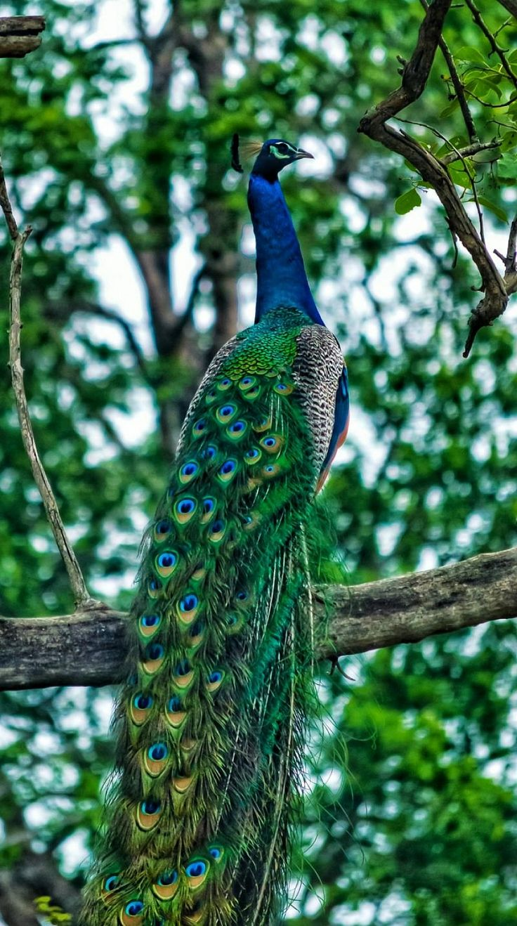 wild peacock... #wildlife #peacock #animals #bird #indian