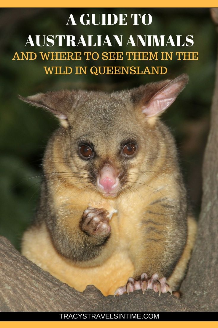 A guide to native Australian animals and where to find them in their natural habitat | Native Australian Animals| #koala #kangaroo