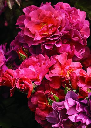 14 best images about narrow border planting bed sun some for Can you get purple roses