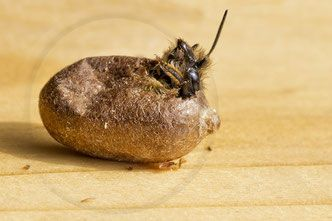 Rostrote Mauerbiene Osmia bicornis Schlupf Kokon  (cocoon, chrysalis, red mason bee, hornfaced bee)