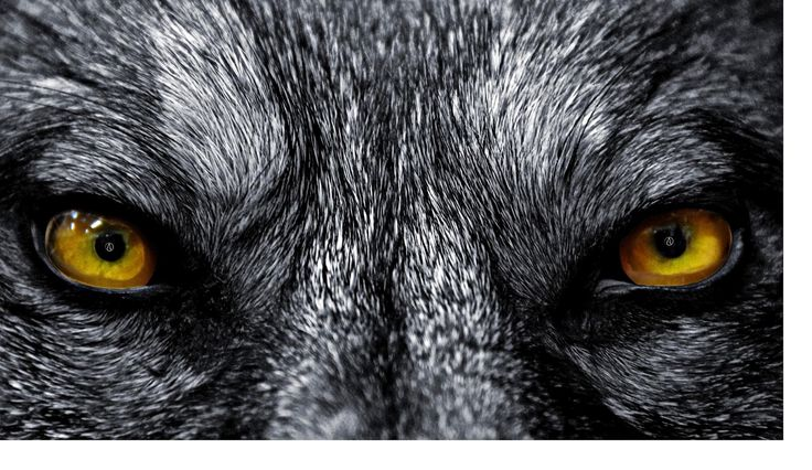 wolf eyes - Google Search