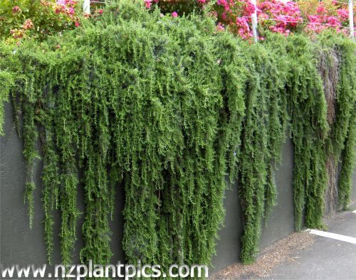 1000 images about cascading plants for gardens on