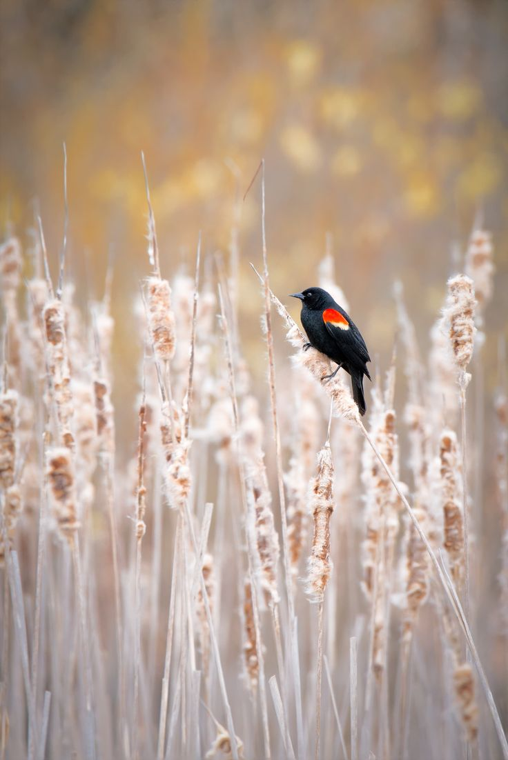 Red winged blackbird....a favorite as a child (as it was one of the few I could identify).