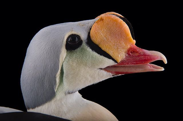 WEBSTA @ joelsartore - A male king eider at the @sylvanheights_birdpark in North Carolina. These large sea ducks can be found living throughout the Arctic in places like Alaska, Canada, Greenland and Russia. They forage mostly underwater, diving sometimes as deep as 150 feet below the chilly water in search of molluscs and other invertebrates to snack on. Sylvan Heights Bird Park seeks to advance conservation of waterfowl and wetlands, to act as a local educational resource for avian biology…
