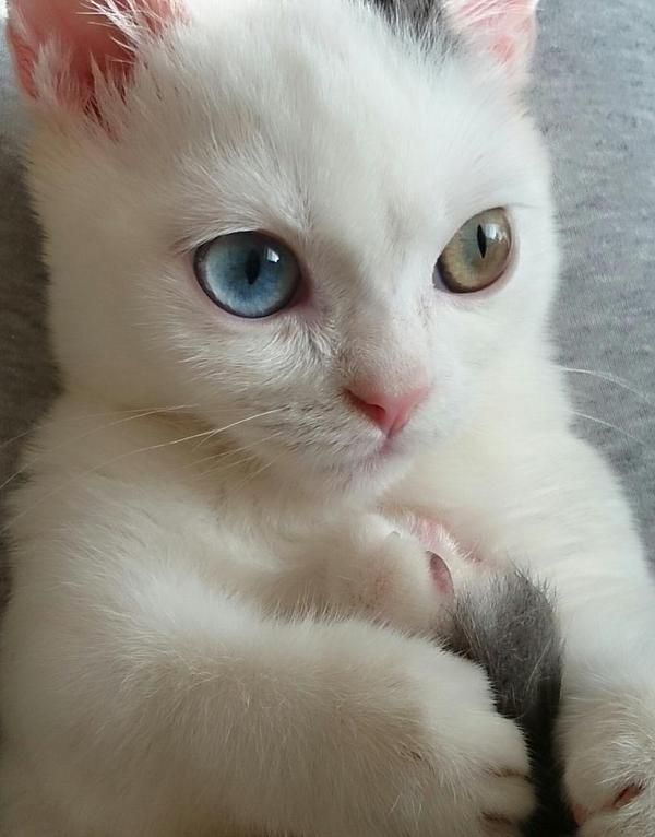 So many kittens have different color eyes....  so cute.. I love them.. I want one..look at that face