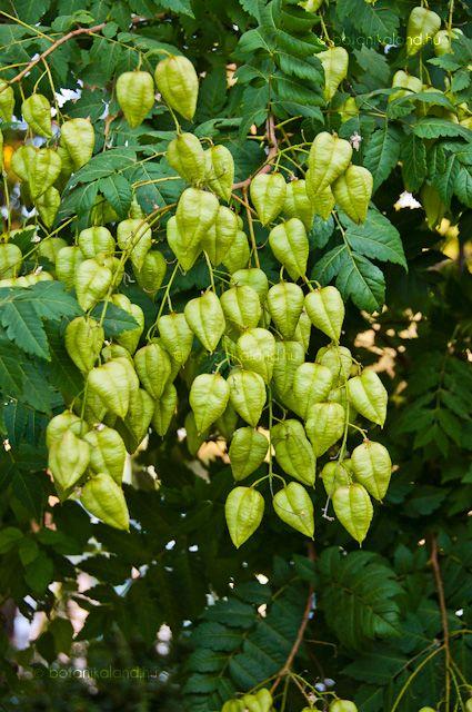 Bug s cs rg fa koelreuteria paniculata rboles for Arboles perennes de crecimiento rapido