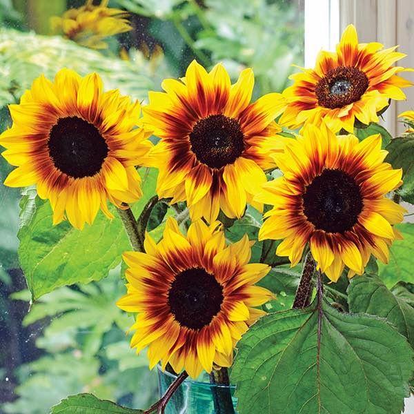 Sunflower Helios Flame Annual Flower Seeds