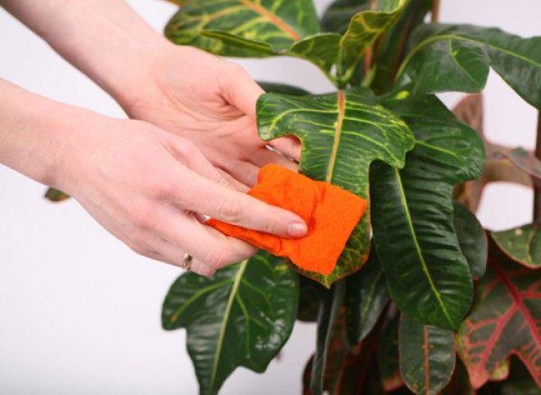 Правило №1: систематически, выделяя по несколько минут, необходимо осматривать субстрат, стебли и листья комнатных растений.Внешнее состояние почвы подскажет, нужно поливать или нет, а вид листьев укажет на существующие ошибки в уходе: световом и температурном режимах, минерального состава почвы и влажности воздуха. Категорически запрещено использовать нестерилизованную почву.Лучше покупать в специализированных магазинах готовые субстраты. При самостоятельном приготовлении земельной смеси…