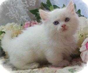 Munchkin Kätzchen. Diese Augen und winzigen Beine !! – Kätzchen, die ich will! -…   – Adorable Kittens