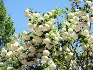 white snowball viburnum with propagating directions.