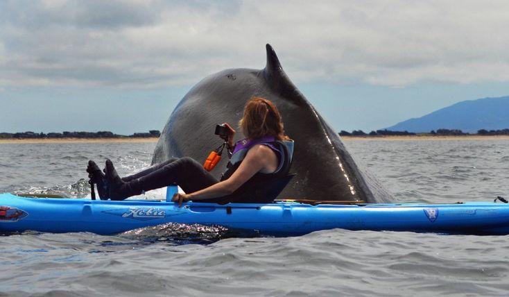 """Queste incredibili immagini sono state scattate in California, al largo della baia di Monterey, dal biologo marino Giancarlo Thomae che stava tranquillamente facendo un giro sul suo Kayak. All'improvviso si è ritrovato davanti """"36 tonnellate di balena"""" a pochi centimetri. Il gigante"""