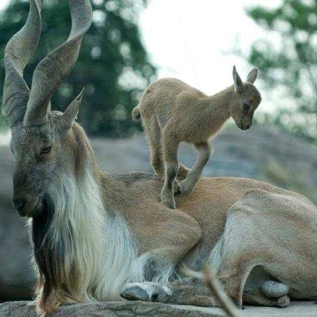 Markhor goats of Pakistan