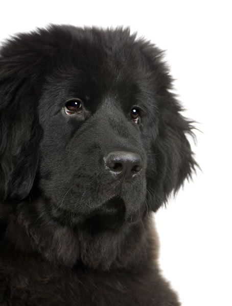 Black Newfoundland's are the cutest dogs I've ever seen
