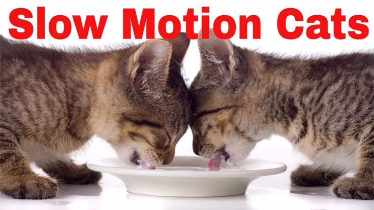 Cat drinking in slow motion - Chat boire au ralenti - Gato bebiendo en c...