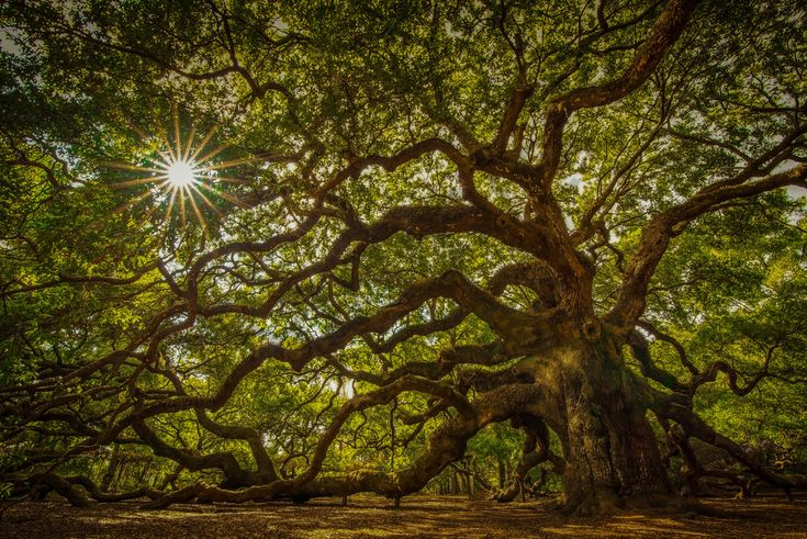 Angel Oak Tree Photograph for Sale as Fine Art - <p>The angel oak tree in South Carolina is visited by many people each year. Because it is estimated to be as old as 1500 years old, many tourists come to see the amazing majesty and personality of this amazing tree. </p>