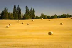 Golden hay bales in a field at harvest time stock photo