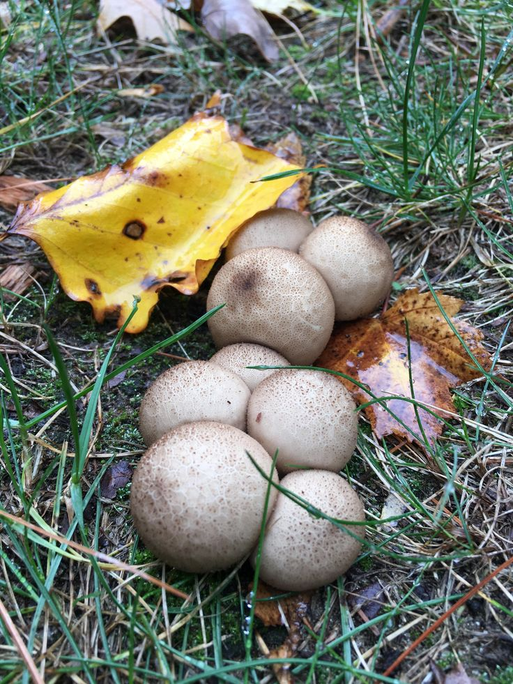 how to cook puffball mushrooms