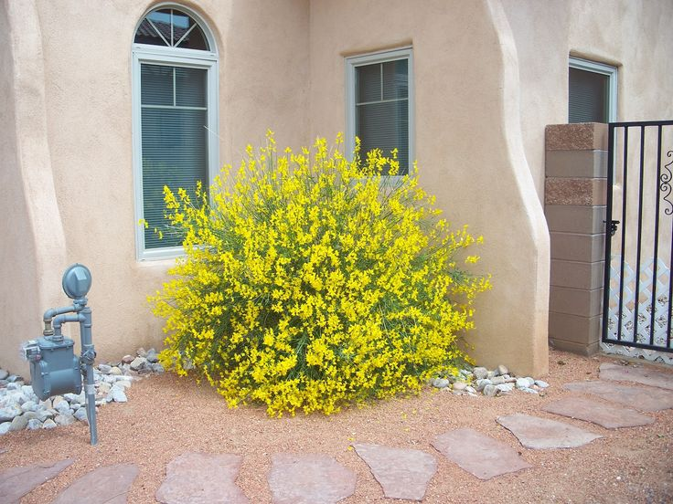 Spanish Broom ( Spartium junceum ) is a perennial, evergreen, nitrogen-fixing (leguminous) shrub native to the Mediterranean area of Souther...