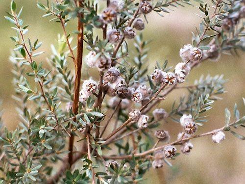 Leptospermum lanigerum (Tea Tree)