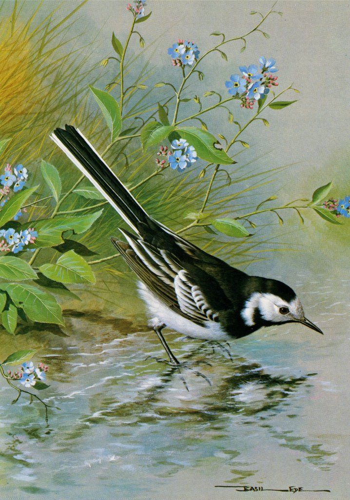 Pied Wagtail; Basil Ede (b.1931) -  ; Chapter 1.