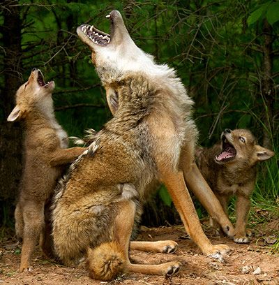 Credit: Debbie DiCarlo/Rex Features Coyote karaoke: a coyote teaches its pups to howl at a wildlife preserve in Hinckley, Minnesota