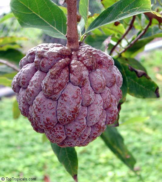 Annona squamosa, Sugar apple, Custard Apple, Sweetsop-Anon, Sweetsop, Atis, Sitafal, Seetha Payam, Araticum, Sharifa