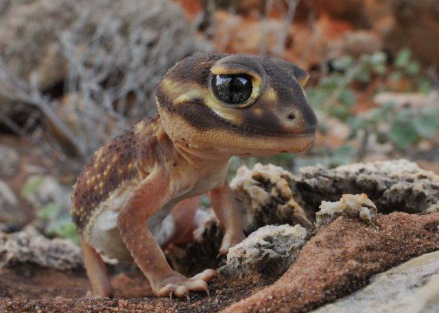 Smooth Knob-tailed Gecko (Nephrurus levis)    A cartoon character found in Cape Range National Park:   Smooth Knob-tailed Gecko (Nephrurus levis). #gecko #lizard #reptile