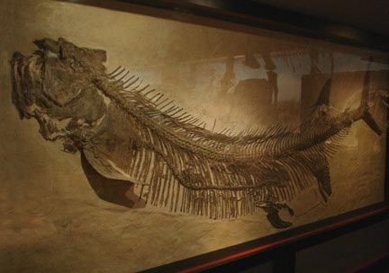 Royal Tyrell Museum-This is one of the most treasured skeletons in the World.  It is a giant fish  who had just swallowed another fish.  Both skeletons are clearly visible