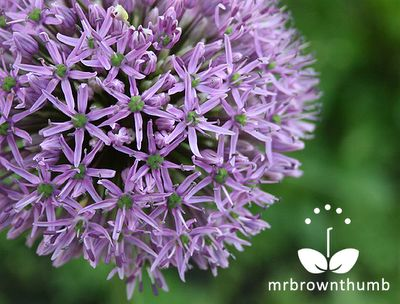 How to Collect Allium Seeds