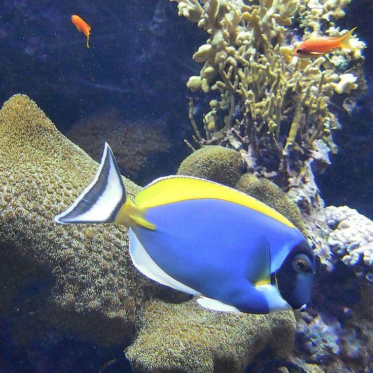 Powder Blue Surgeonfish  Lisbon Oceanarium  #powderbluesurgeonfish #surgeonfish #powderbluetang #tangfish #tropicalfish #fish #instafish #fishlovers #marinelife #oceanariodelisboa #lisboa #lisbon #lisbonne #lissabon #lisbona #Лиссабон #里斯本 #リスボン #instalike #instalisboa #instalisbon #instatravel #instacool #instagood #welovelisbon #visitlisboa #visitlisbon #visitportugal #portugal #walkinginlisbon