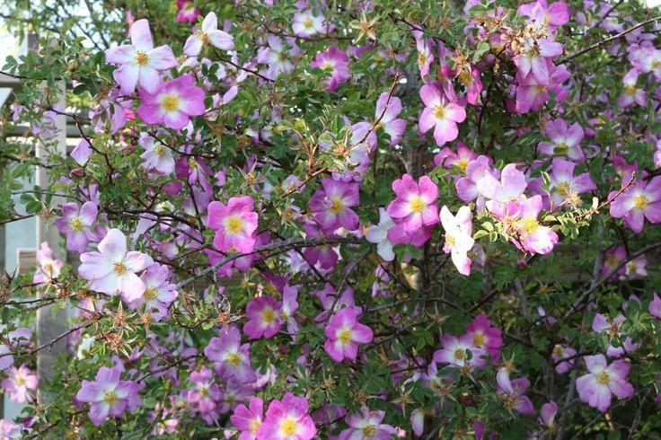 'Glory of Edzell' Pimpinellifolia Sone 6-7 tidligblomstrende buskrose http://www.vestby-planteskole.no/sortiment/roser/