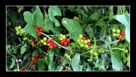 """""""Untul pământului"""" (Dioscorea communis) este o plantă erbacee, perenă, din familia Dioscoreaceae, des întâlnită în Europa. În țara noastră, poate fi găsită numai în jumătatea de sud, la marginea pădurilor de foioase, în locuri umbroase şi pietroase…"""