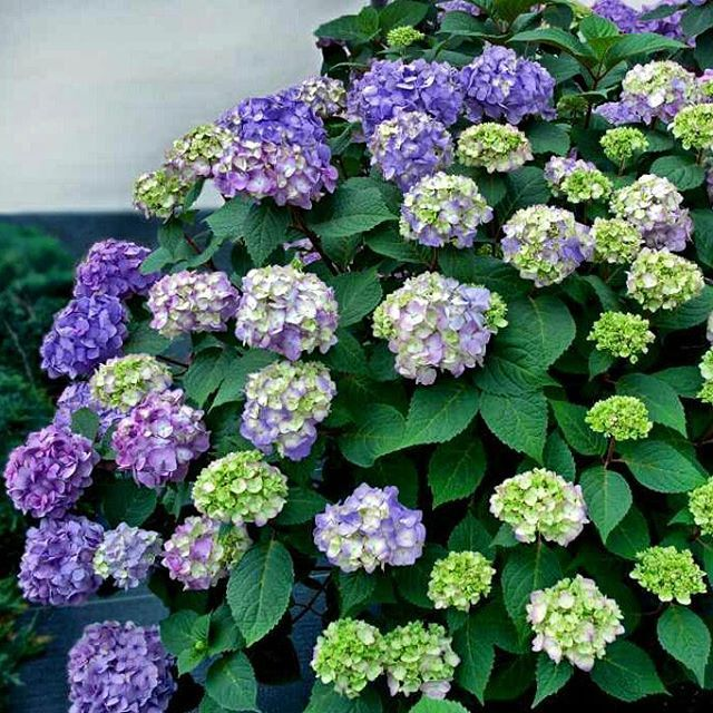 Is #LaborDay symbolic of the end of summer? Keep the good times rolling with our Bloomstruck Endless Summer #Hydrangea! This beauty blooms on old and new growth constantly pushing out new flower heads measuring 3-5'' across. TIP: Depending on your soil pH level it can be pink purple or blue. (zones 4-8) #monrovianursery #hydrangeamacrophylla #shrub #deciduous #summer #bloomstruckendlesssummerhydrangea #awesome_florals #summerforever #lovegardening #goodvibes #prettythings #flashesofdelight…