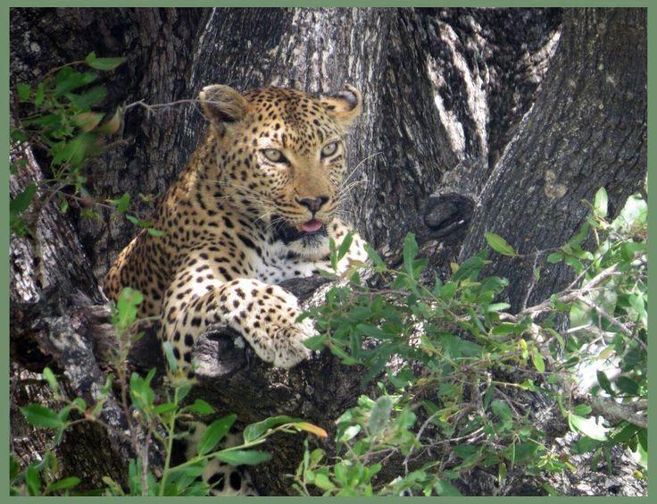 Leopard KNP
