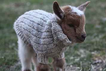 Three Newborn Goats Wearing Tiny Sweaters Will Make Your Day