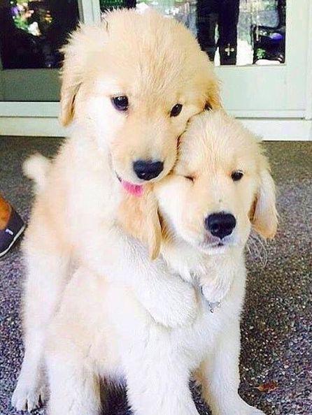 furry friends: golden retriever puppies