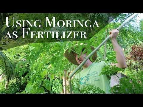 Fresh Using Moringa as Fertilizer and Mulch Day of YouTube
