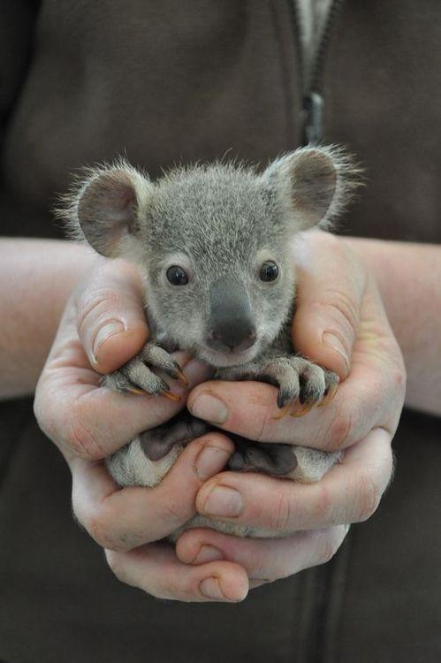 Baby Koala. Australia. #AustraliaItsBig