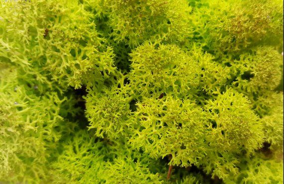 8oz Preserved Reindeer Moss Floral Moss Chartreuse