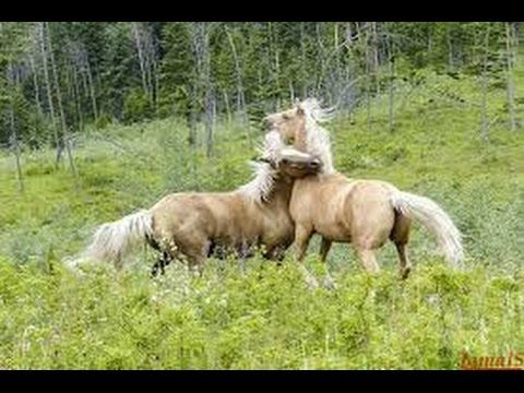 Wild horse Fighting | horse attacks horse   funny horse videos compilation