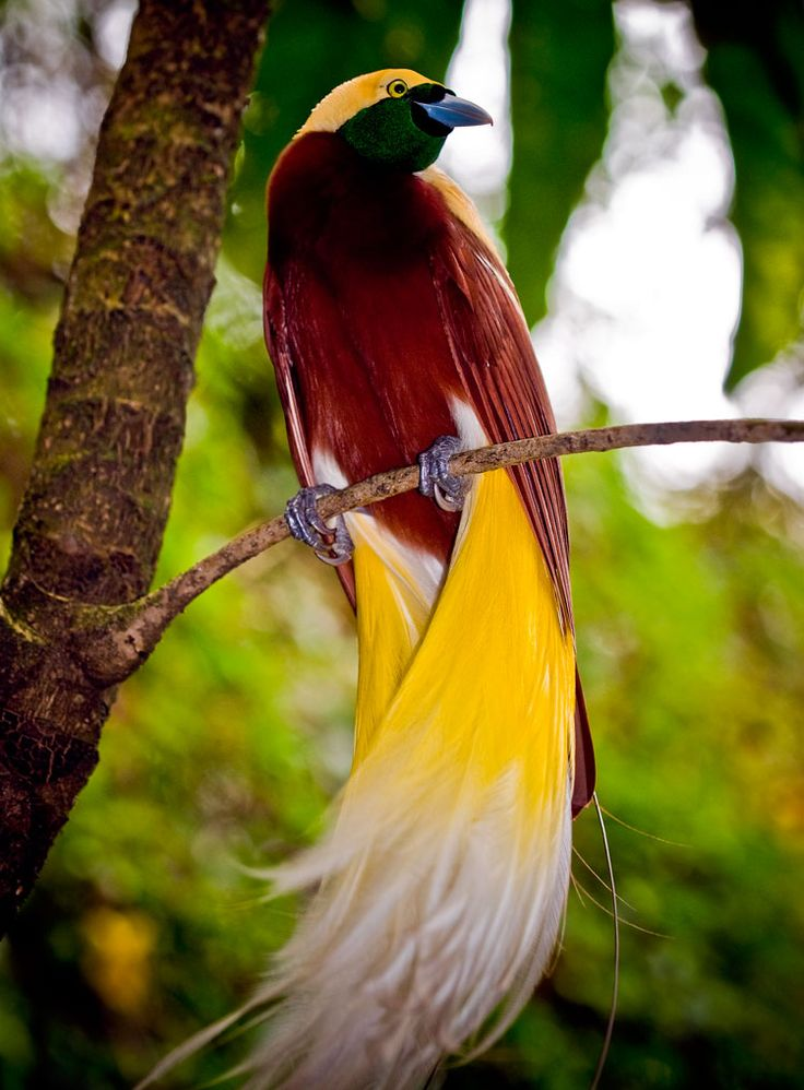 Lesser Bird of Paradise, via Last Flight Out Photography