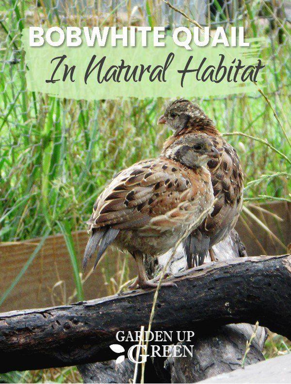 The Bobwhite Quail Sanctuary | Quail, Raising quail ...