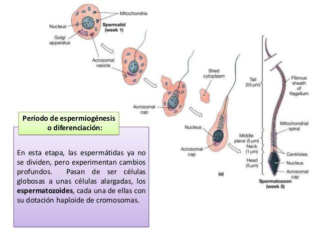 En Casi Todos Los Vertebrados El Aparato Reproductor Está Formado Por Las Gónadas Y Por Un Grupo De C Educación Para La Salud Ciclo Celular Sistema Reproductor