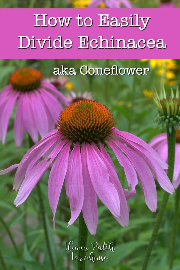 Easy How To Divide Echinacea Coneflower In 2020 Echinacea Echinacea Purpurea Beautiful Flowers Garden