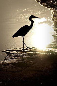 onyonet  photo studios - Great Blue Heron Silhouette