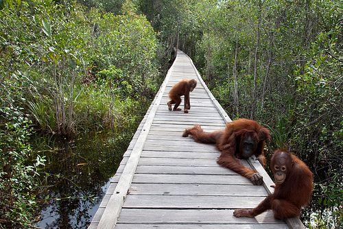 Tanjung Puting National Park in Kumai, Kalimantan Tengah