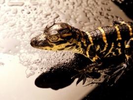 Baby Aligator wallpaper from www.freewallpaperstock.com