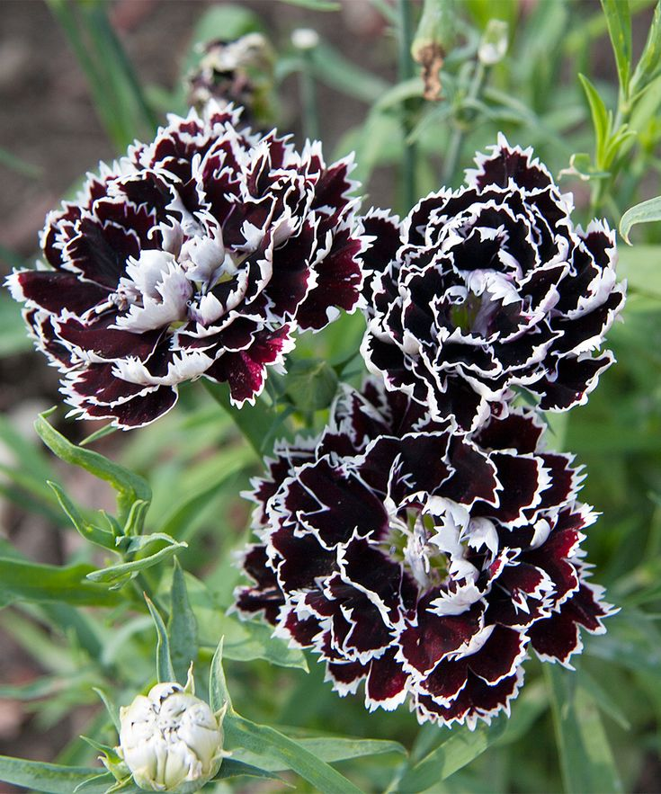 Live Hardy Carnation Velvet N' Lace Carnation Plant - Set of Two