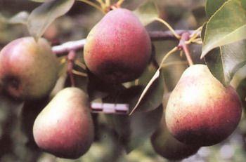 Сорта груши Русановская