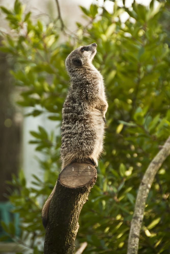 Nintu, proud father #Meerkat, enjoying the nice weather.